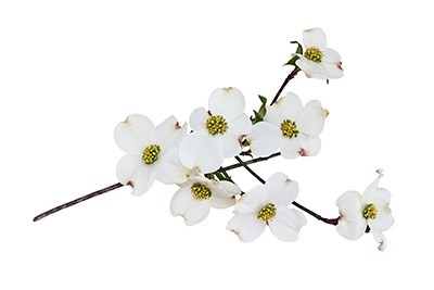 dogwood branch with flowers